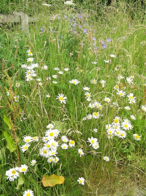 Wildflowers, Broad Chalke