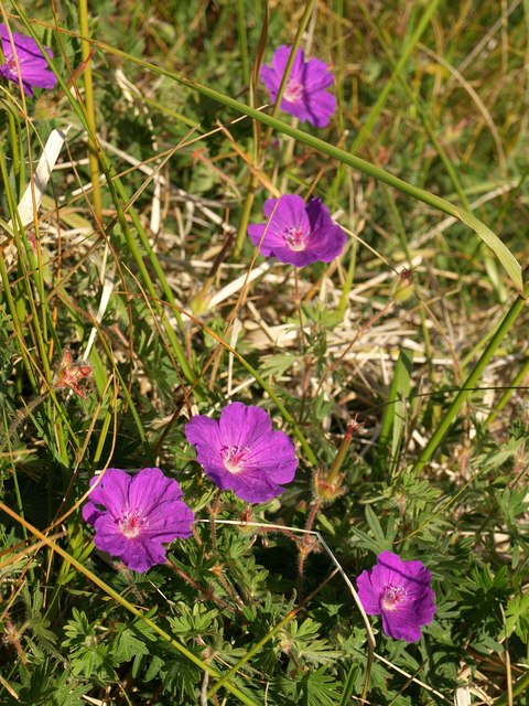 Bloody cranesbill by The Rags