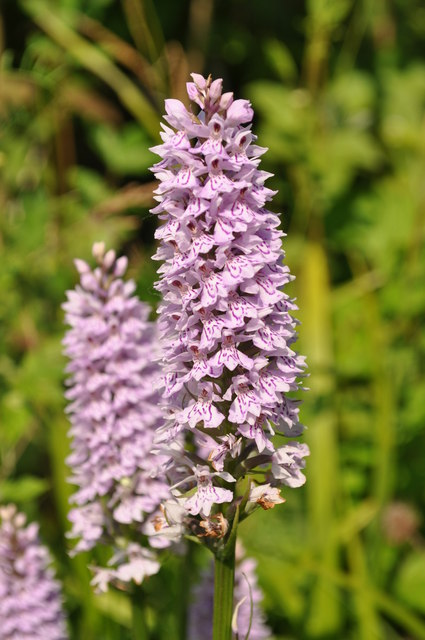 Wild Orchids at Foxley Woods