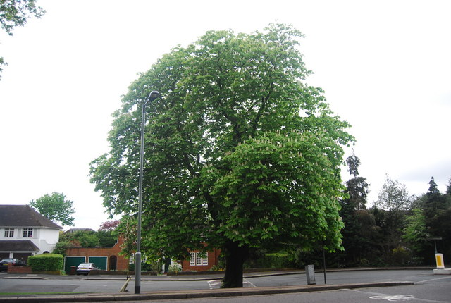 Large Chestnut tree, Fountain Drive