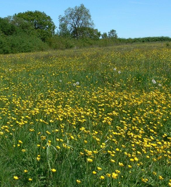 Buttercups in Smenell Field