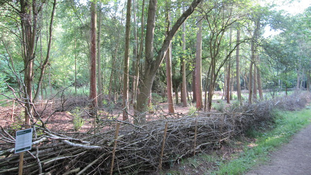 Coppicing demonstration in Bourne Woods