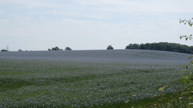 Field of flax in blossom