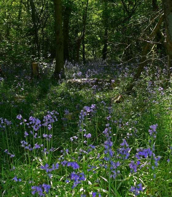 Bluebells in Freeholt Wood