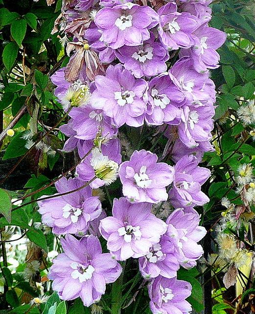 Pastel Purple Delphinium
