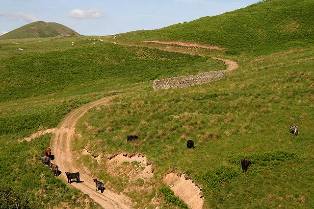 Cattle at Hophills Nob