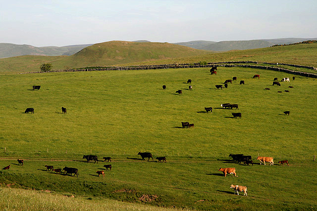 Cattle at Shibden Hill