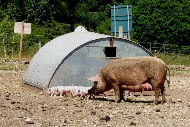 Pigs at Stinsford, Dorset