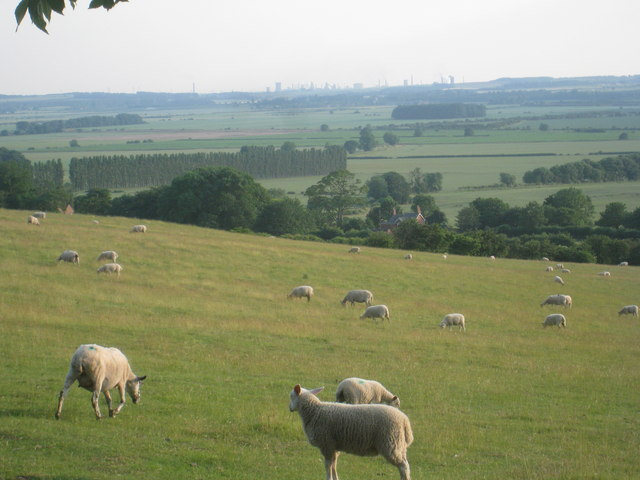 Sheep grazing at Horkstow