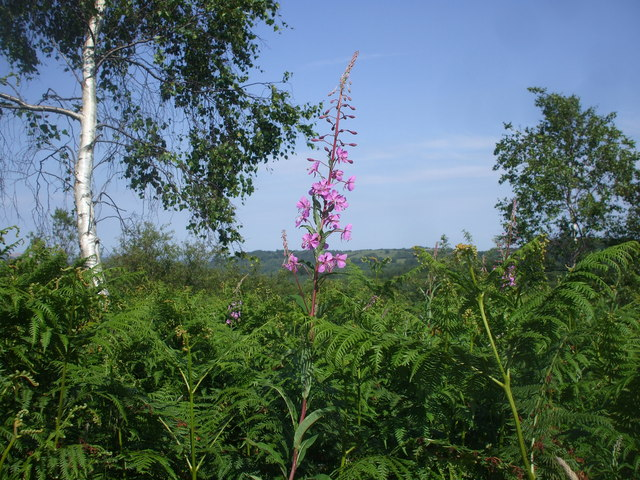 Rosebay willowherb, silver birch and bracken, Caerphilly Common.
