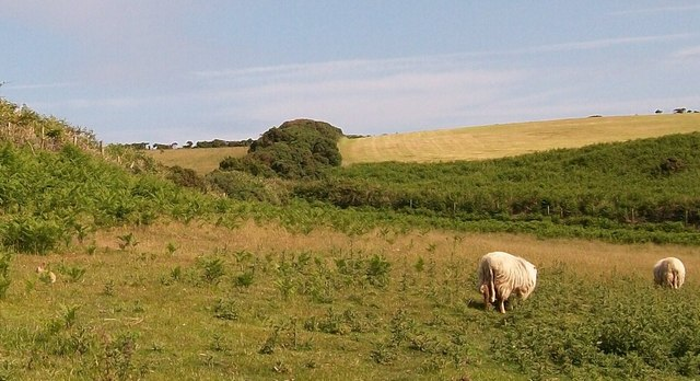 Sheep and rabbit share an area of rough pasture