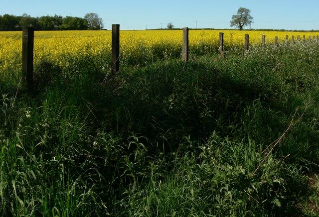 Oil seed rape field north of Jubilee Walk