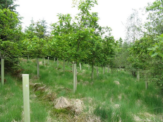 Mixed replanting at Craighaugh Forest