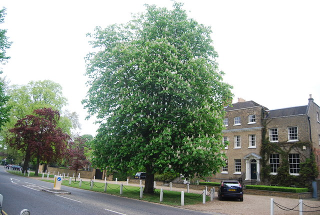 Large Chestnut tree, College Rd