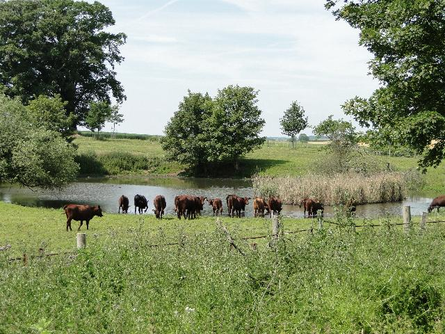 Cows at the pond
