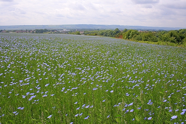 Field of Flax, Musham Bank
