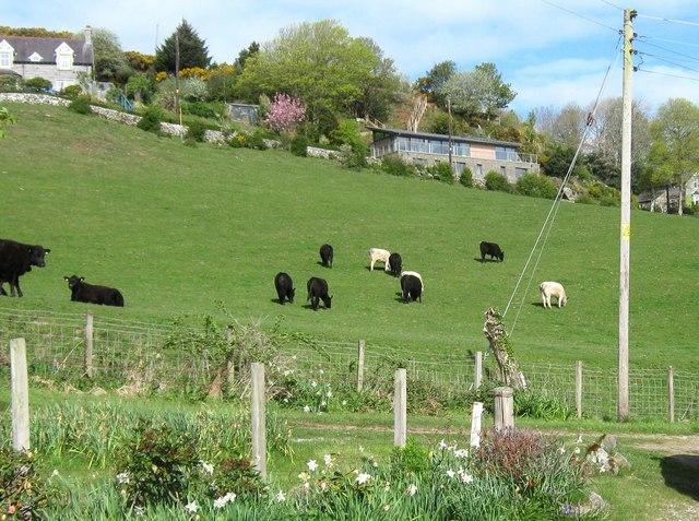Cattle on a hillside, Portling
