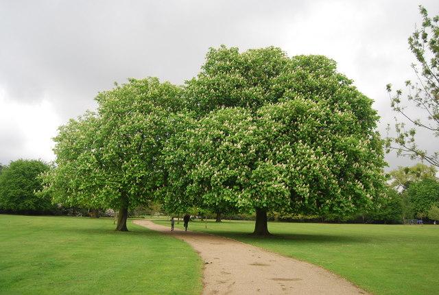 Chestnut trees, Dulwich Park