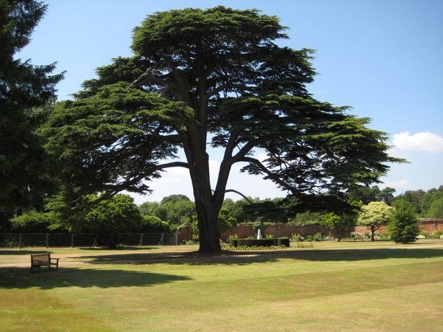 Cedar tree, Tredegar House