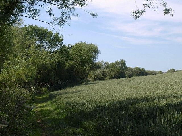 Wheat near Maisemore