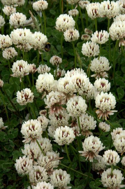 White Clover (Trifolium repens), Baltasound
