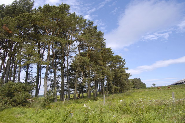 Scots Pines