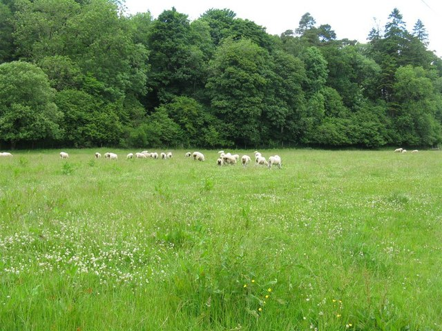 Sheep grazing at Boreland