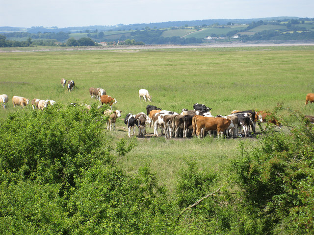 Cattle on the Dumbles