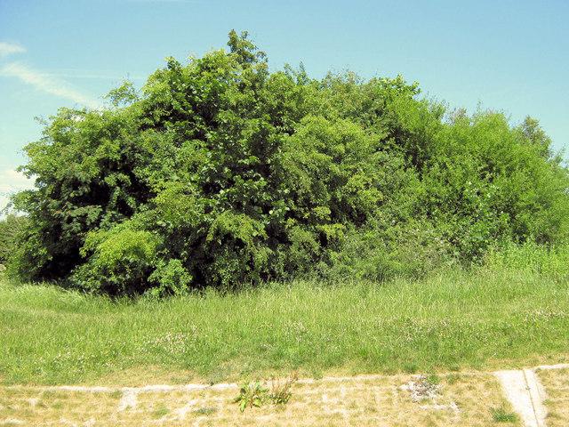 Hedge Remnant