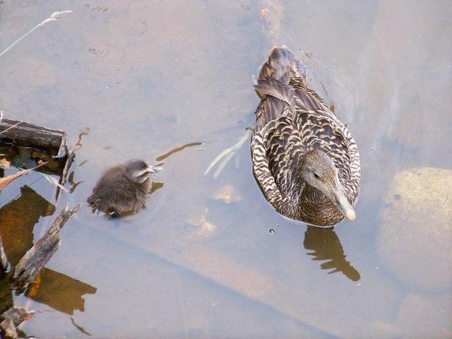 Eider And Duckling (Somateria mollissima)
