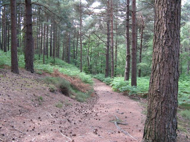 Bridleway through wood on Graffham Common