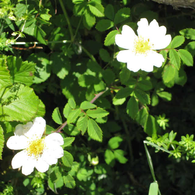 Field Rose (Rosa arvensis)