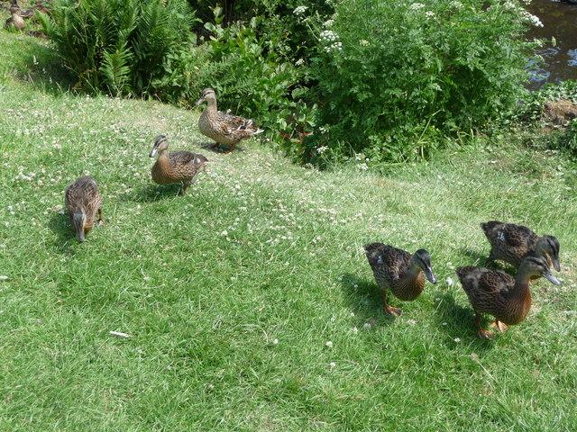 Canonteign Falls : Lily Lake Ducks