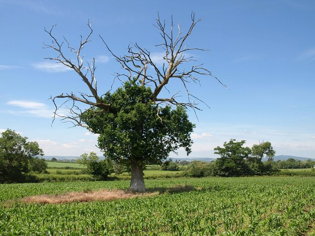 Dead and alive tree near Kenton Green