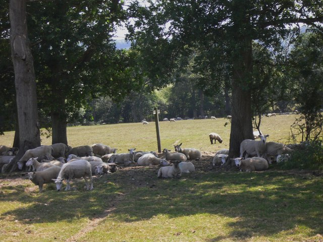 Sheep near Didling