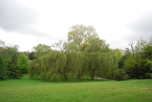 Weeping Willow, Sydenham Wells Park