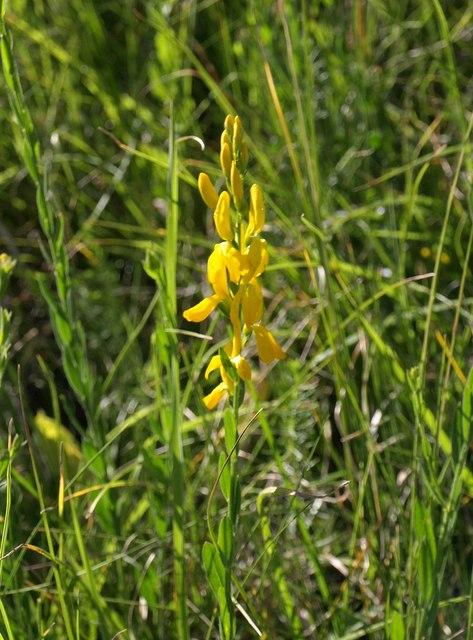Plant near Sellar's Bridge