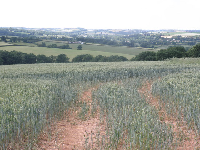 Wheat fields, near Posbury