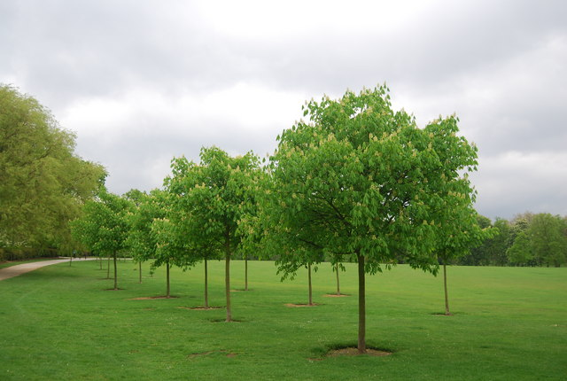 Young Chestnut trees, Crystal Palace Park