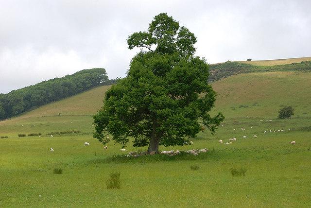 Tree near Tyllwyd farm