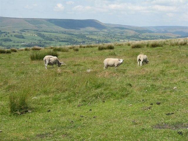 Sheep on Jeffrey Hill