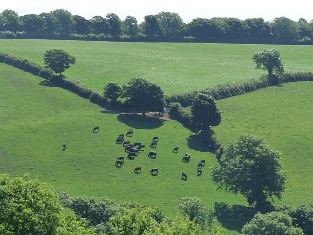 Cattle grazing near to Llys-y-Frân