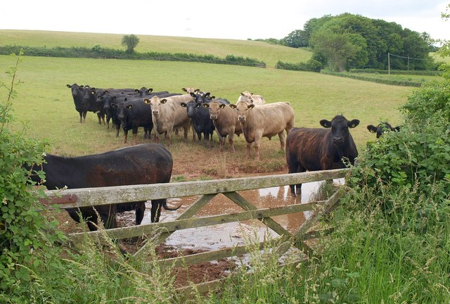 Cattle, Venn Cross