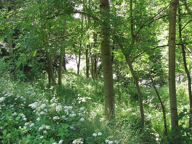 Woodland beside the Tweed