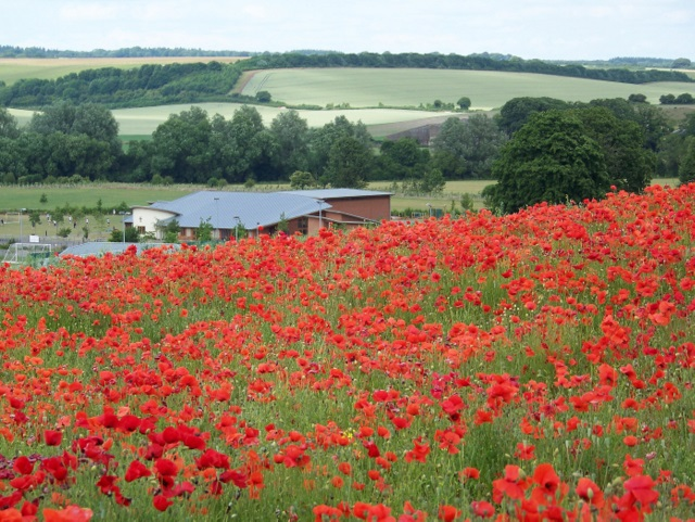 Field poppies, Broad Chalke