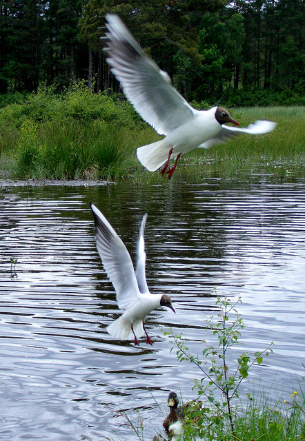 Black -headed Gulls at Milton Loch