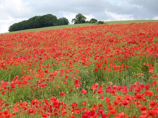 Poppies, Broad Chalke