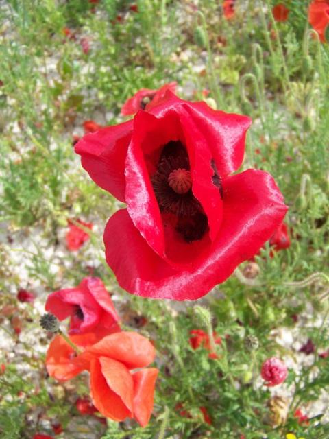 Poppy, Broad Chalke
