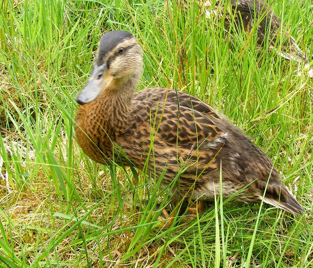 A Young Mallard at Milton Loch