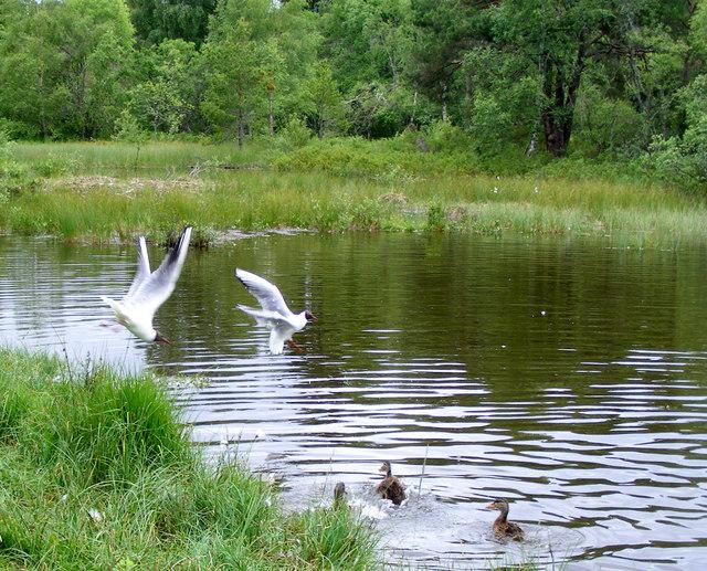 Mallard and Black -headed  Gull's at Milton Loch